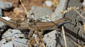 Jeden z przedstawicieli endemicznego rodzaju Galotia