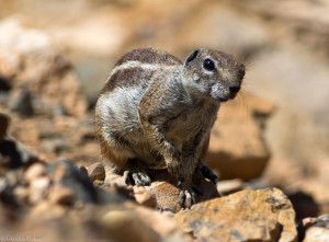 Fuerteventura - wiewiórki ziemne
